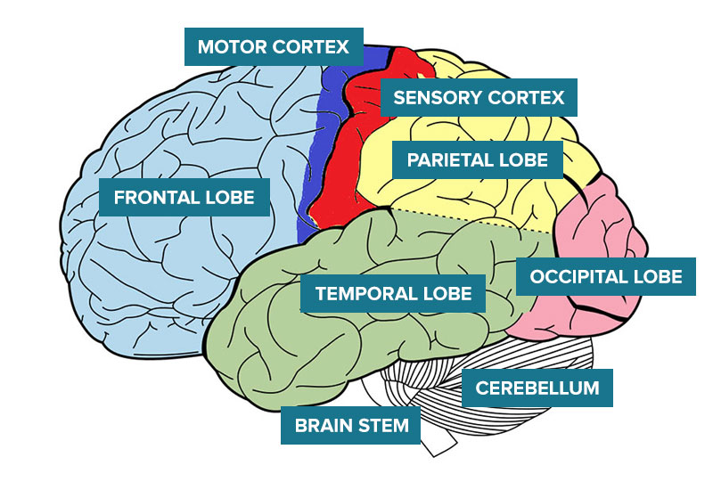 How the brain works abi rehabilitation areas of the brain sensory cortex ccuart Gallery